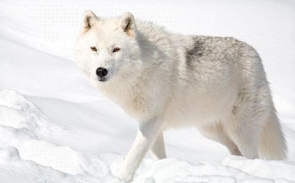 арктический полярный волк
