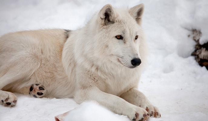полярный волк тундры