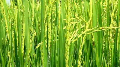 рисовое поле фото