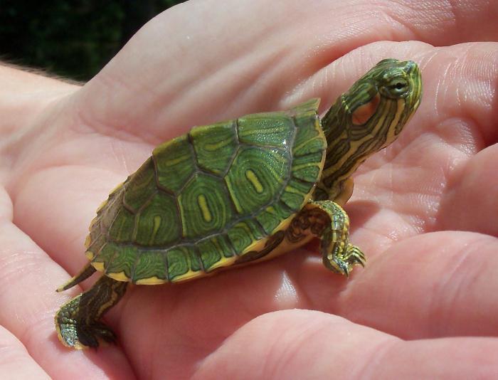 Всё о маленьких красноухих черепахах в домашних условиях