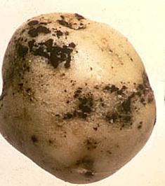 заболевание картофеля парша