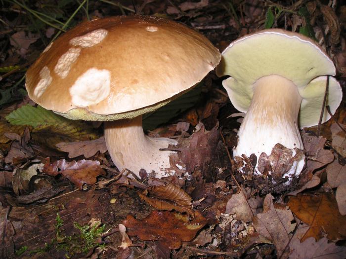 белый гриб описание
