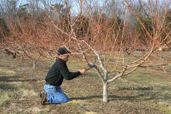 Персик осенью уход