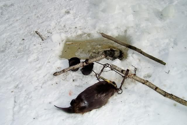 Охота на бобра с капканом или ружьем