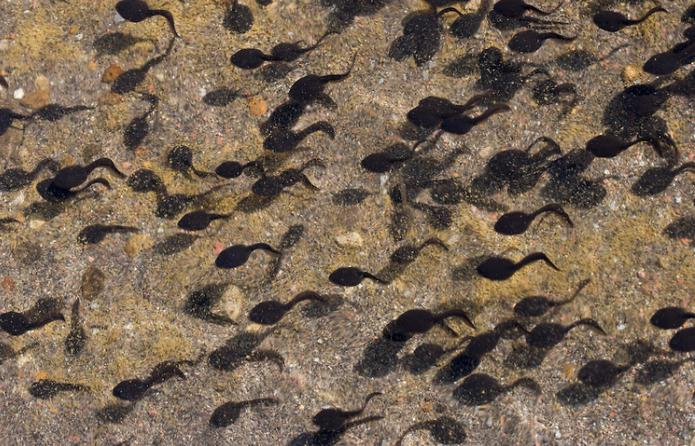 образ жизни озерной лягушки