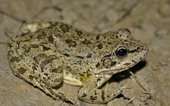 лягушка озерная описание