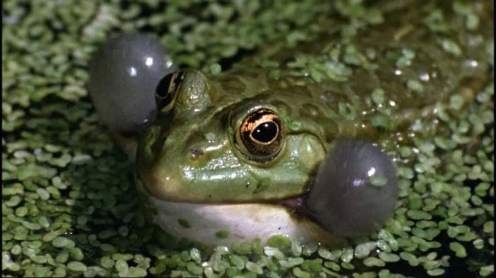 как размножается озерная лягушка