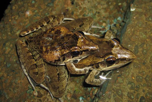 лягушка озерная среда обитания