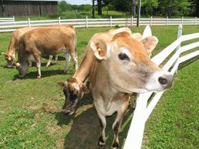 сколько молока дает корова в сутки