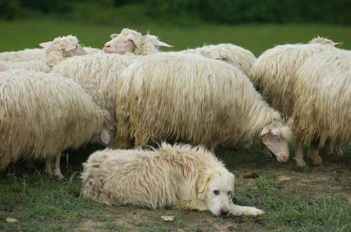 породы собак пастушьи