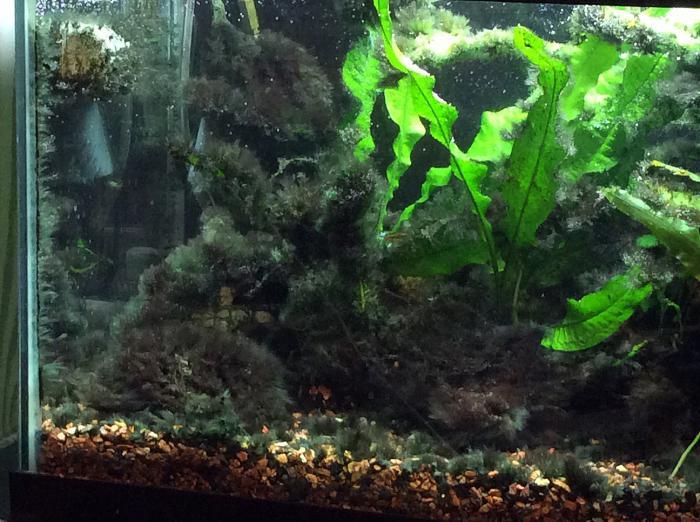 как в аквариуме избавиться от черной бороды