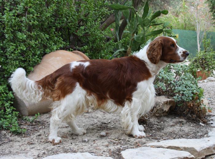 собаки с длинными ушами фото
