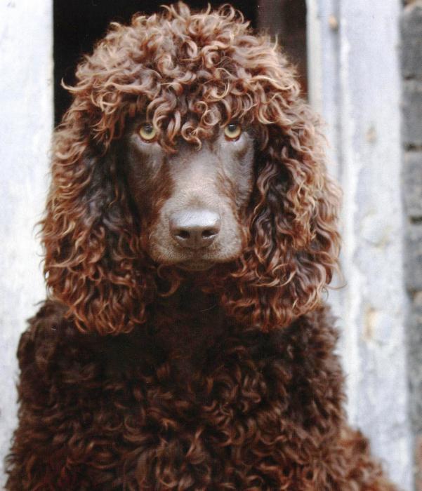 собаки с длинными ушами
