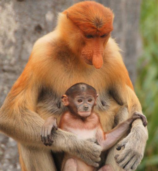носач обезьяна
