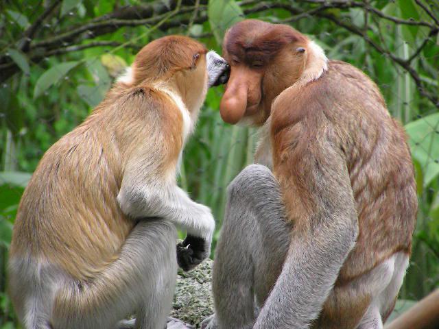 продолжительность жизни обезьяны