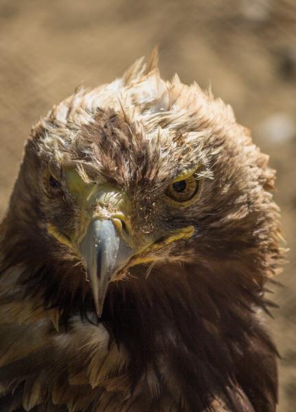 могильник орел