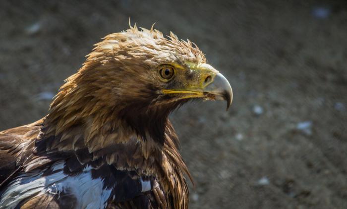 орел могильник фото