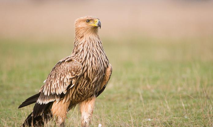 какую пользу человеку приносит орел могильник