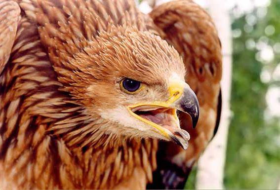 орел могильник описание