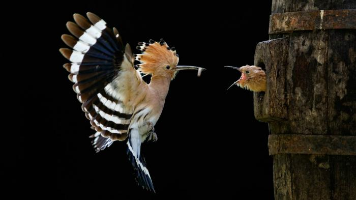 удод птица