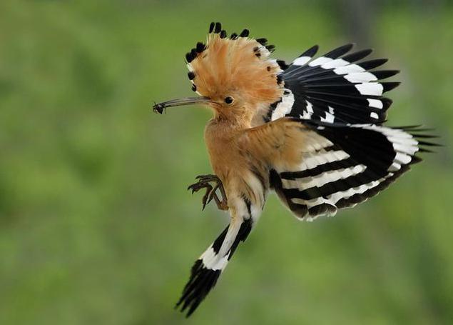 удод фото птица
