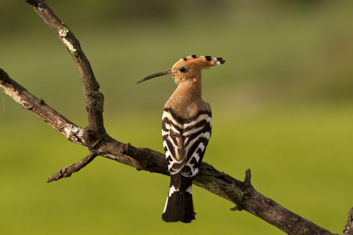 удод перелетная птица или нет