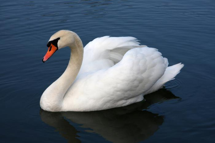 к чему снятся лебеди белые