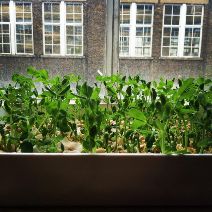 Выращиваем горох. как выращивать горох в открытом грунте, на.