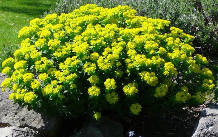 молочай многоцветный выращивание