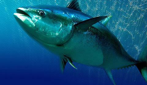 тунец рыба