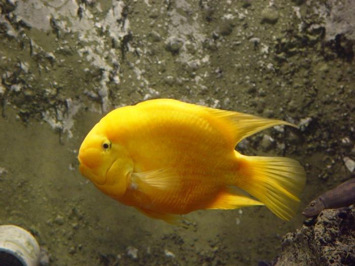 рыба брателла
