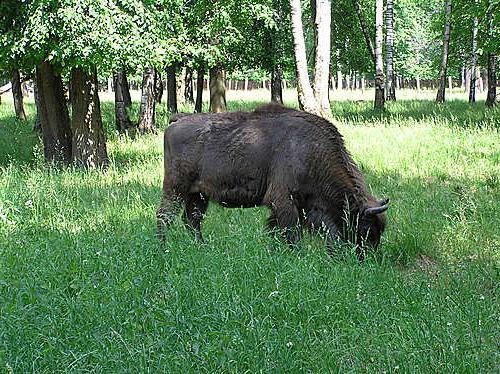 зубр самое большое животное