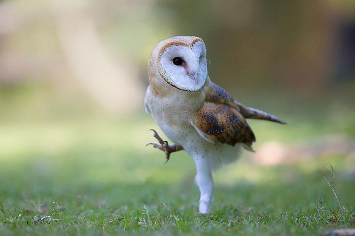 продолжиельность жизни совы