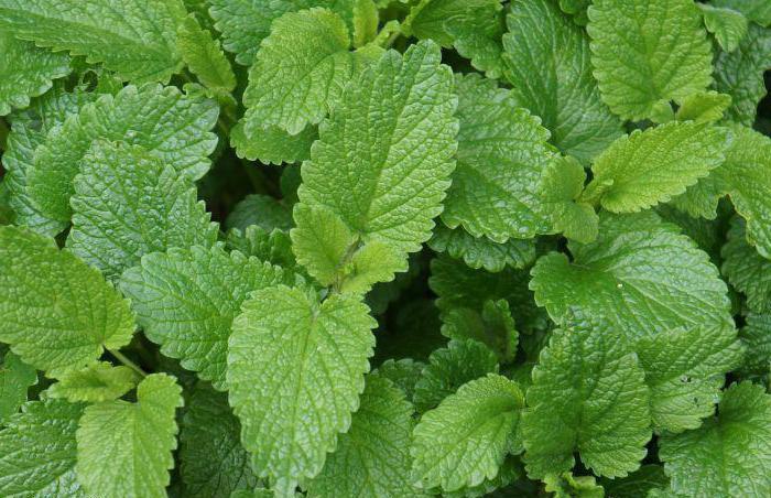 зеленый чай с мелиссой польза и вред