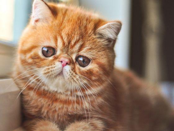 коты с большими глазами порода