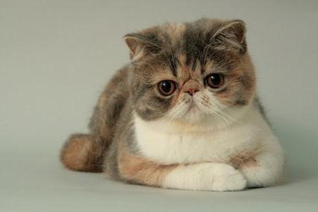 кот с большими глазами и приплюснутой мордой