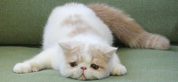 кошки экзоты фото