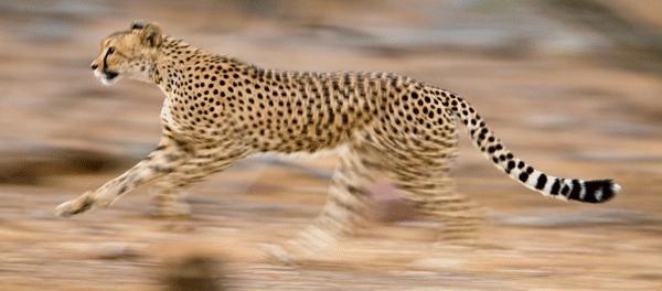 Самое быстрое животное в мире